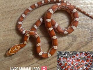 Маисовый полоз - змея для всех