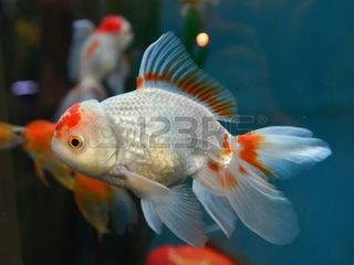 Золотые рыбки альбиносы барбусы гуппи петушки скалярия красная нана кара