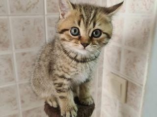 Продается котенок scottish straight