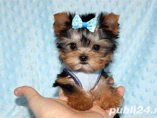 Cumpar catelus Yorkshire Terrier, fetita