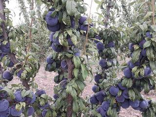 Pomi fructiferi:cireş, vişin, prun, caise,mar.garante