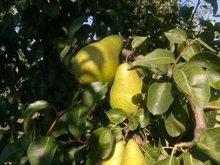 Livada de prune stanley anul 9= 7 ha ,    pere: noiabrskaia + vystavcinaia=4 ha