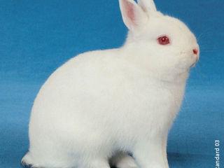 карликовые    кролики      .шиншилу