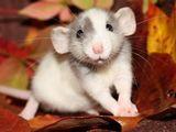 Крысята -  Дамбо. Недорого