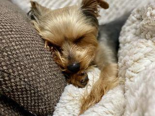 Yorkshire Terrier Вязка!!