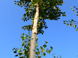 Берёза,  mesteacăn, (береза -  саженцы, (negociabil) , елки, brăduți (molid), puietsi nuc de 2  ani