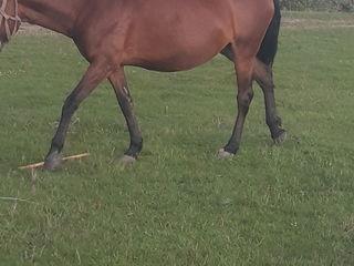 Se vinde cal in forma ideala pentru lucru.