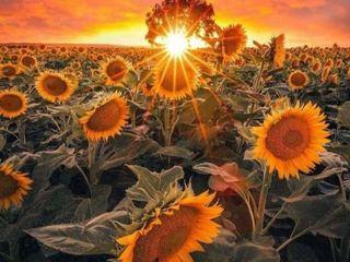 Cumpărăm floarea soarelui, grâu, porumb și orz!