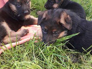Готовятся к продаже щенки немецкой овчарки