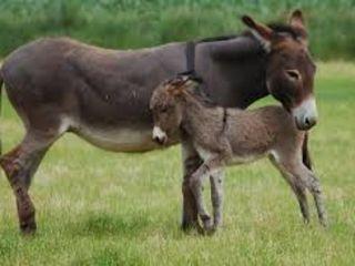 Vind  lapte  de magarita   1l -400 lei   2l- 350 lei  3l- 300lei