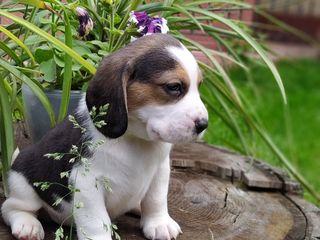 Catelusi Beagle