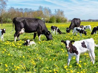 Кредит на покупку коров