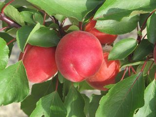 Pomi fructiferi -cais (abrikos )  soiul Pricia ( cel mai timpuriu )