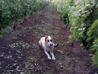 Продам  виноградник ухоженный,  в селе Бульбоака  Новоаненского района.