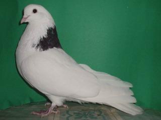 Пермские голуби, Porumbei Permskie