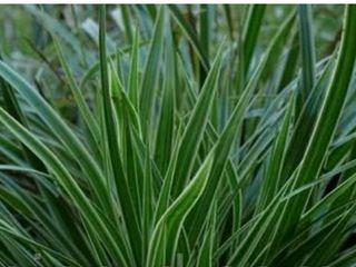 Вечнозелёная осока морроу пестролистная