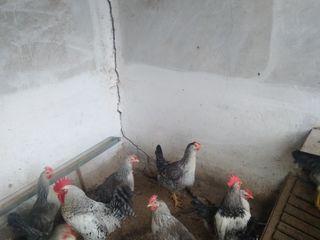 инкубационное яйцо  породы кур борковская борвыста