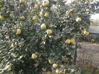 Pomi fructiferi in asortiment. Preventiv primim comenzi de diverse soiuri.