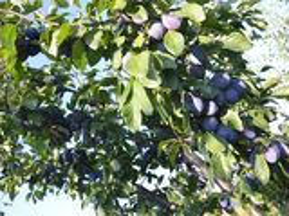 Livada de prune