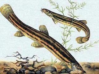 Рыба вьюн для зарыбления-Chişcar.   ( trimitem cu rutiera)