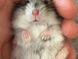 Urgent vind 3 hamsteri foarte dragalasi