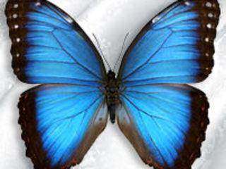 Волшебное зрелище!!! Живые тропические бабочки от 190 лей