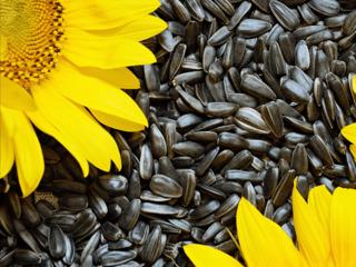Floarea soarelui - Подсолнечник