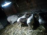 5 capre si 1 tap