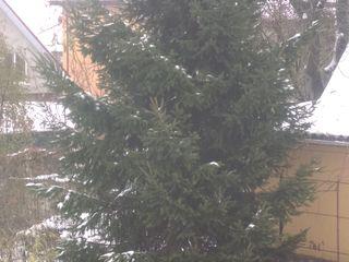 Brad natural. Живая елка высотой 6 метров 2900 лей