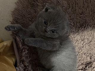 Британские/Шотландские котики