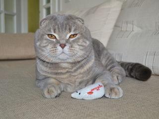 """Вязка!Племенной кот,шотландский вислоухий приглашает невест """"scottish straight"""" !"""