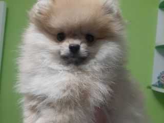 Девочка померанский шпиц / Pomeranian spitz