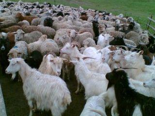 Cumpăr oi și capre orice regiune a Moldovei
