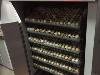 Vindem oua de prepeliță pentru incubare