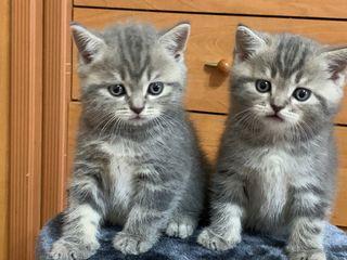 Продаются шикарные шотландские котята дешево!