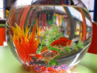 Бесплатная доставка - Круглый аквариум с рыбкой (acvariu rotund)