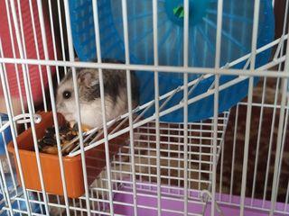 Hamsteri cu tot cu casa. Джунгарики пара с клеткой.