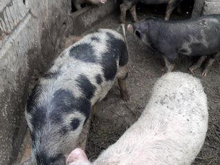 Se vinde urgent 8 porci