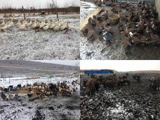 Se vinde ferma cu pasari, animale