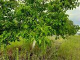 Сад грецких орех