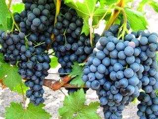 Продаеться участок виноградника, сорт зайбэр 15 арь возле винный завод