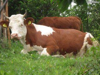 Vaci Junci cai buhai la carne și crestere