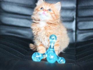 Персидские классические котята. 1,5мес. Pret simbolik