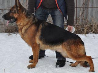 Супер щенки немецкой овчарки!!! Цена полностью соответствует качеству!!! Остались 2 щенка.