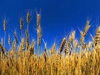 Продаётся пшеница / se vinde grîu