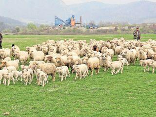 Brînză de oi / овечья брынза