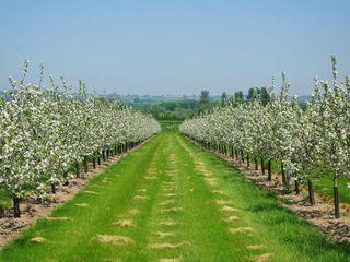 Pomi de prune Stenlei pe garantie pentru livezi