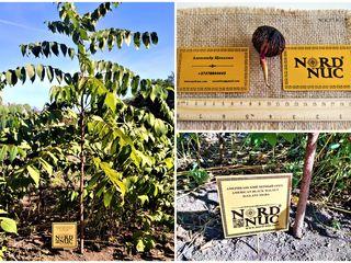 Бизнес - чёрный орех - выращивание на древесину