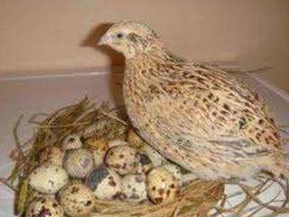 Перепелиные яйца - ouă de perepeliță.