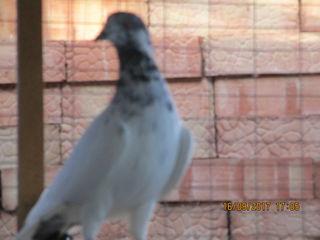 Индопакистанцы,высоколетная птица